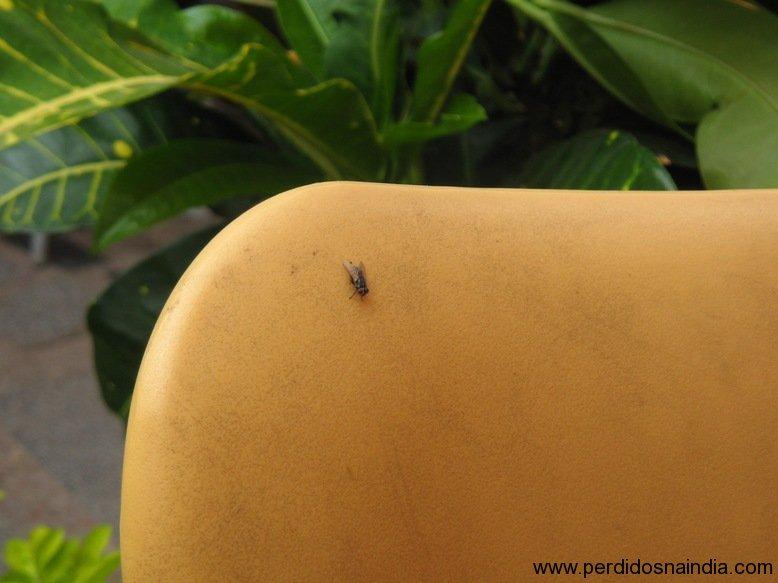 Primeira mosca que vimos na Índia