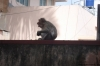 O macaco comendo goiaba!